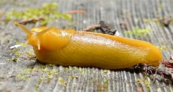 bananaslugariolimaxcolumbianus1